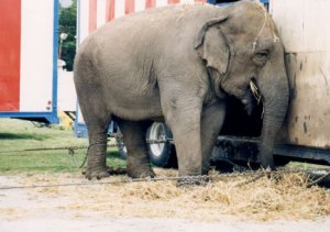 elefante mau trato